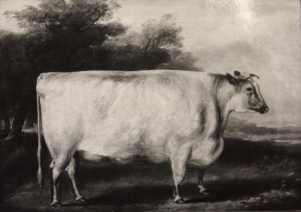A shorthorn cow
