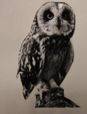 Short-eared Owl courtesy of W.R. Mitchell and Bradford University Special Collections